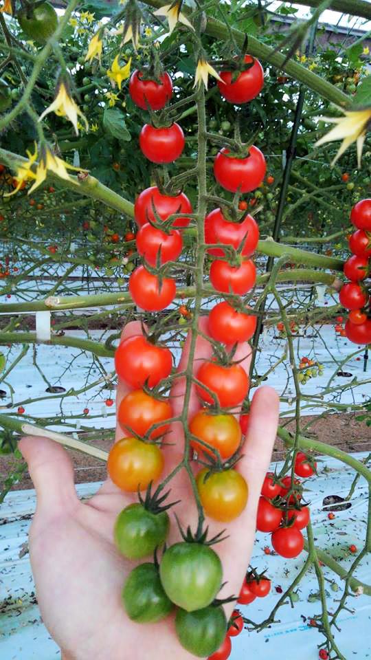 tomato04
